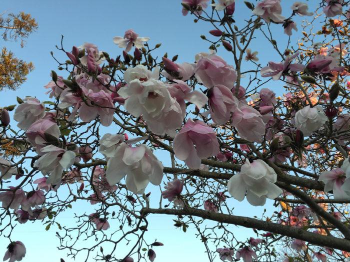 Berkeley Blooms