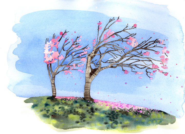 Most of the flowering cherry trees in San Francisco are Japanese cultivars, Prunus serrulata.