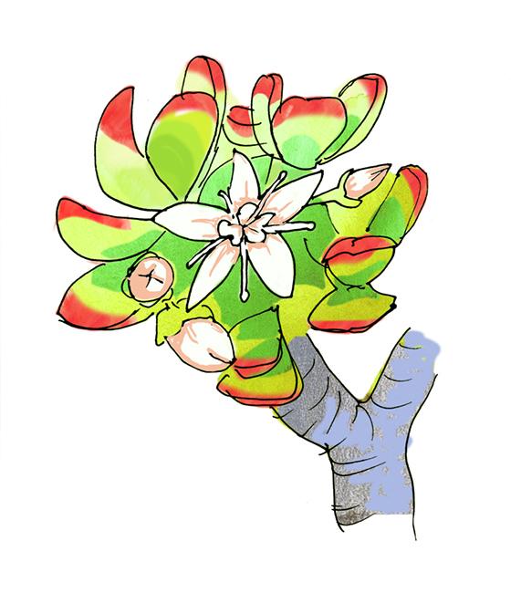 """Crassula ovata, """"jade plant."""""""