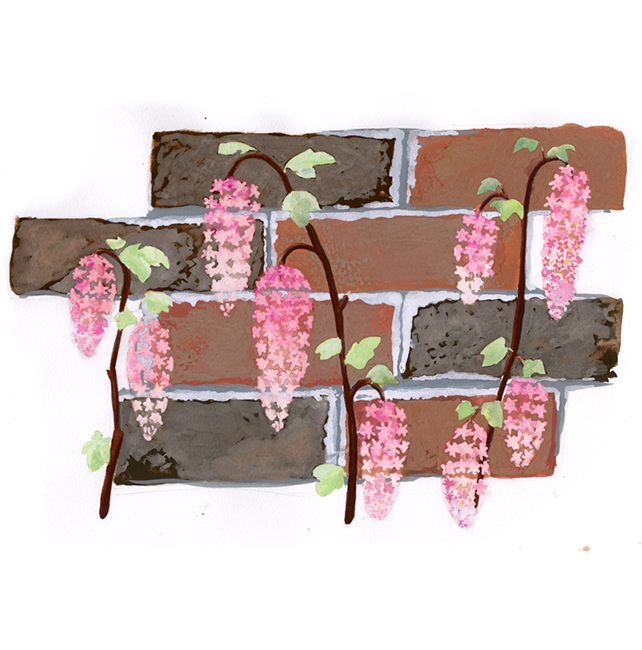 """Look for Ribes sanguineum, or """"pink flowering currant,"""" growing abundantly in Golden Gate Park in early spring."""