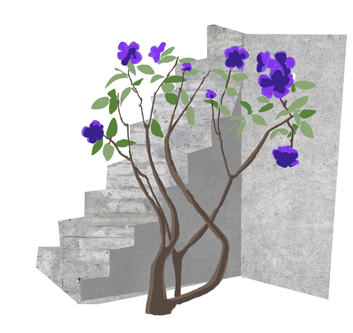 "Tibouchina urvilleana, ""princess flower"" or ""glory bush,"" native to Brazil."
