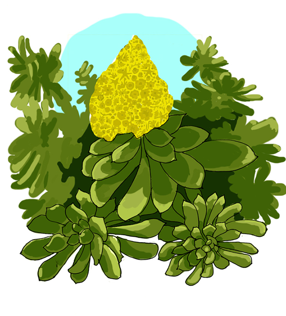 """Aeonium arboreum, """"tree houseleek"""" or """"Irish rose."""""""