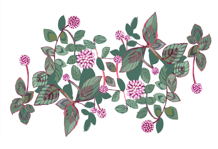 """Polygonum capitatum, or """"pink knotweed,"""" can be spotted crowding the edges of sidewalks and planters."""